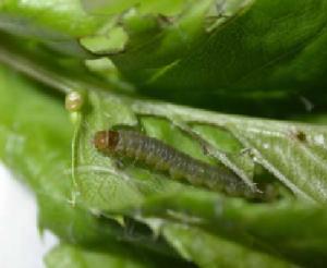 savijač pokožice plodova larva