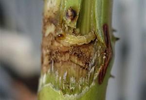 malinin prstenar larva