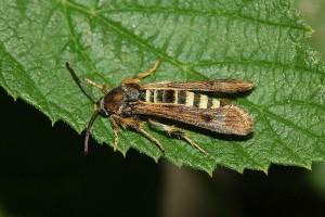 štetni insekt malinin staklokrilac