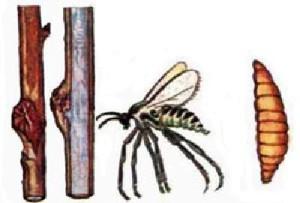 ciklus razvoja malinine mušice galice