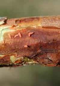 malinina mušica larva