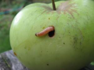 larva gusenica smotavca