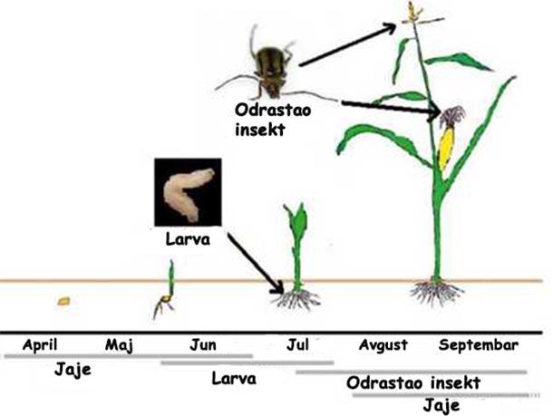 faze razvoja kukuruzna zlatica