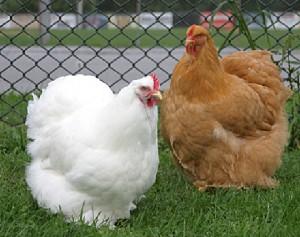 kokoška velika kokinkina