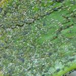 Zelena kukuruzna lisna vaš