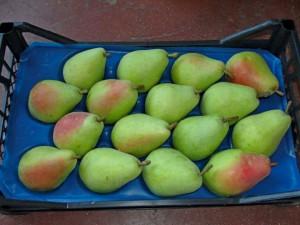plodovi kruške sorta santa marija