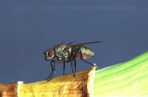 odrasla lukova muva - muha
