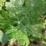 Crna pegavost vinove loze