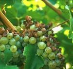 Plamenjača vinove loze