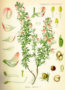 Kako izgleda zečiji trn biljka