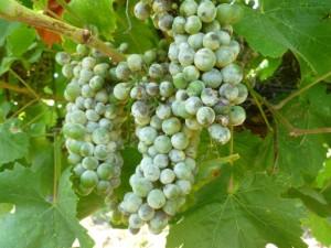 bolest vinove loze na grozdu
