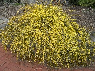 listopadni grm zimskog jasmina
