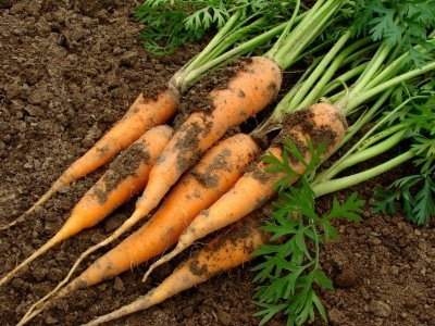 ubrana mrkva