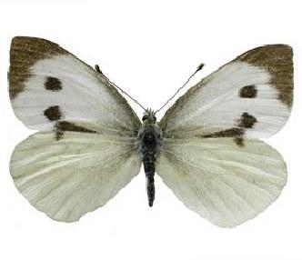 leptir velikog kupusara