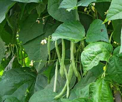 biljka pasulj na njivi