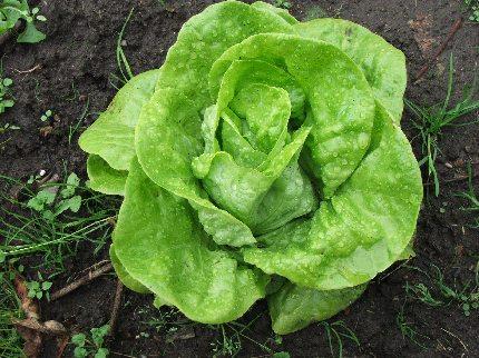 glavica zelene salate
