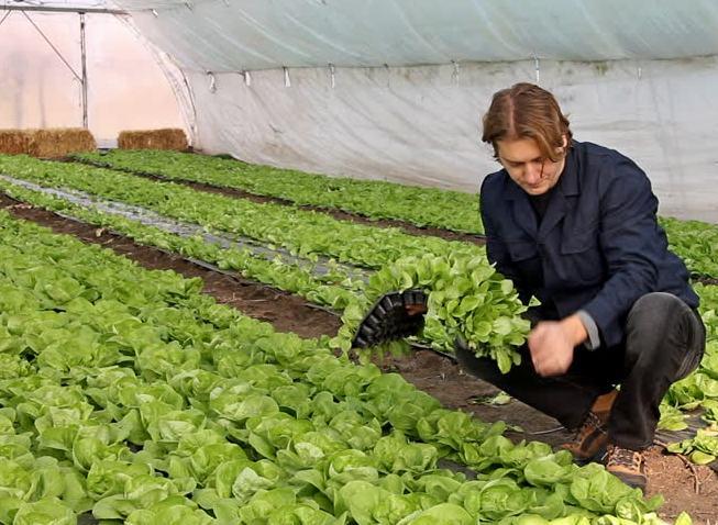 plastenička proizvodnja zelene salate