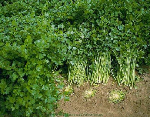 Celer kod kog se upotrebljavaju listovi
