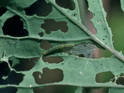 šteta na kupusu od moljca
