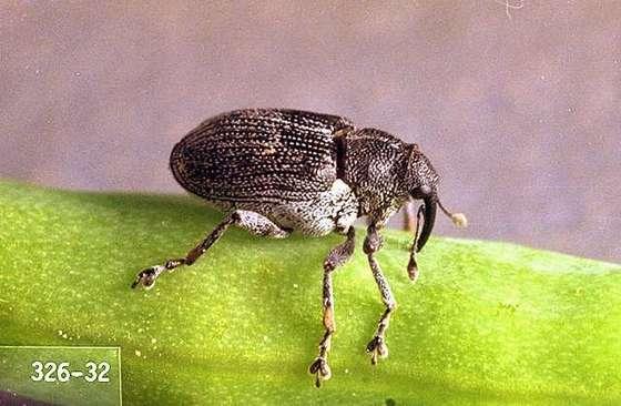 štetni insekt