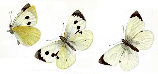 kako izgleda leptir