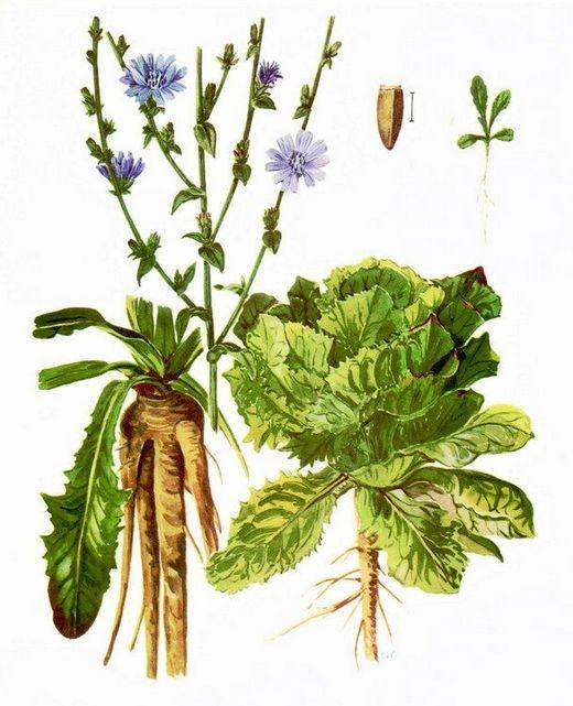 biljka cikorija