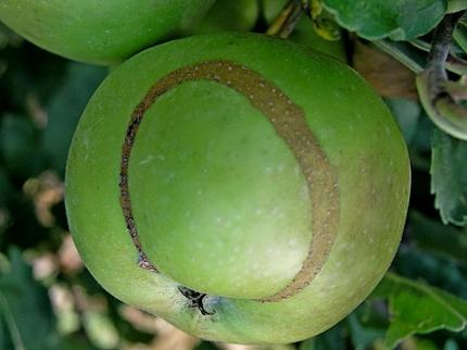 oštećeni plod jabuke