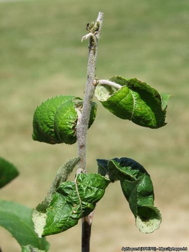 savijeno lišće na jabukinom stablu