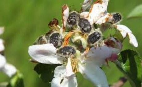 Napad na voćkin cvet