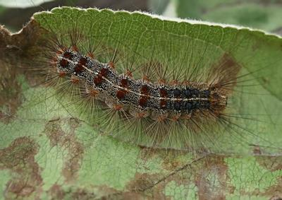 izgled larve gubar