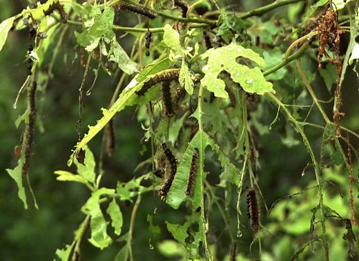 šteta koju prave gusenice od insekta gubar