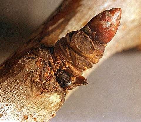 štetni insekt pravi rupu u stablu