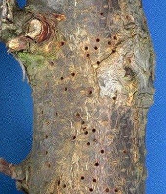 rupice od insekata na koćki