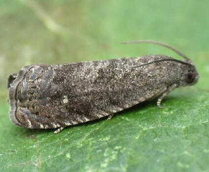 zaštita breskve od štetnih insekata