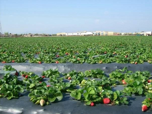 jagode na otvorenom polju