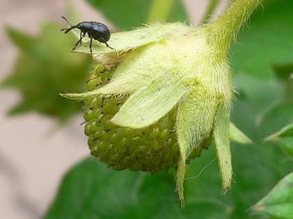 štetni insekt na jagodama