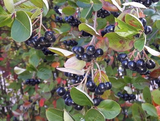 Aronia prunifolia