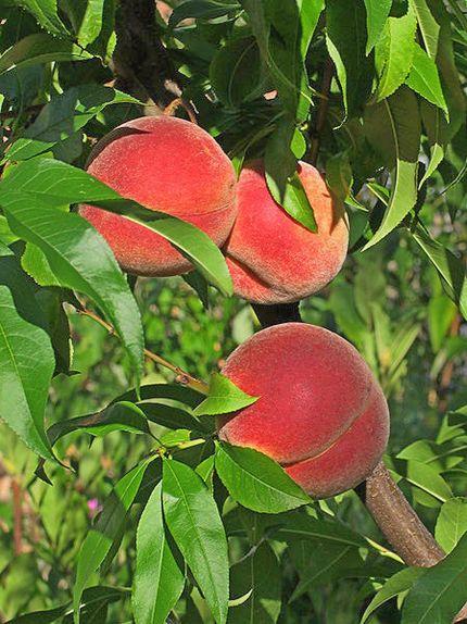 stablo breskve sa plodovima