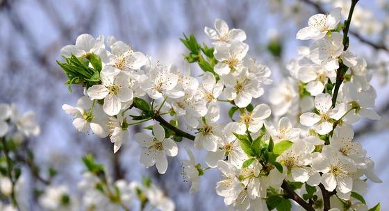 beli cvetovi