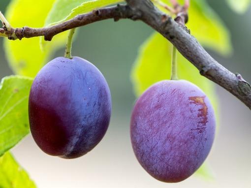 šljivini plodovi