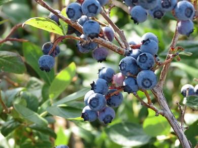 plodovi borovnice