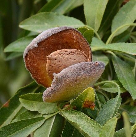Plod badema