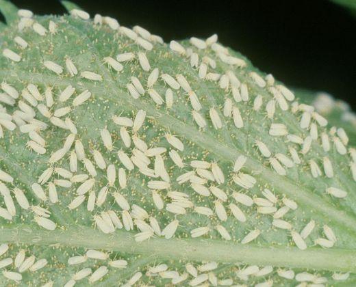 štatni insekti na listu