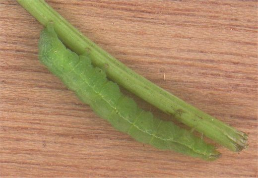 larva gama leptira