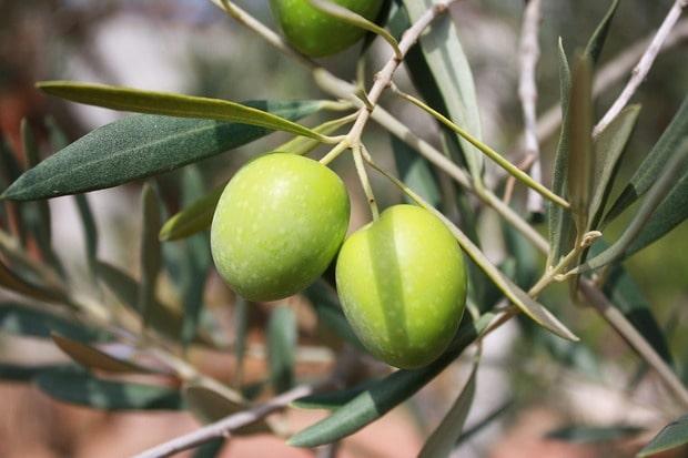 maslinini plodovi