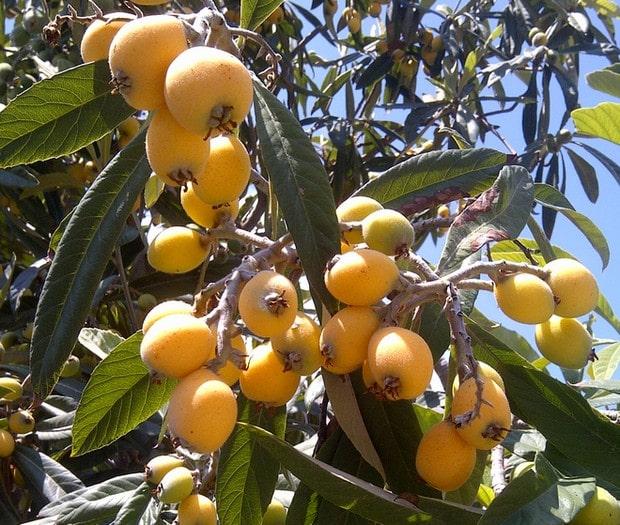 plodovi japanske mušmule