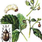 Jagodin i malinin cvetojed