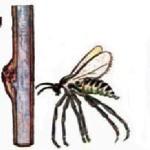 Malinina mušica galica