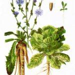 Cikorija (radič, endivija)