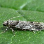 Kajsijini moljci
